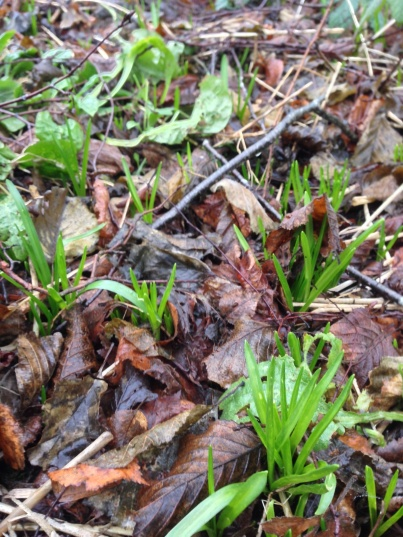 Bluebell shoots